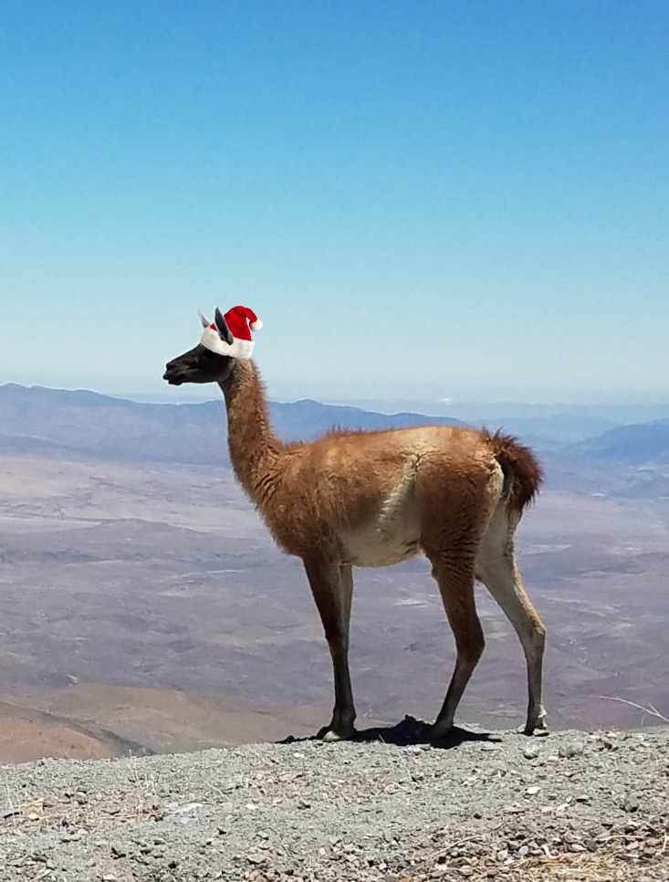 Guanaco in profile with a photoshopped Santa Claus hat.