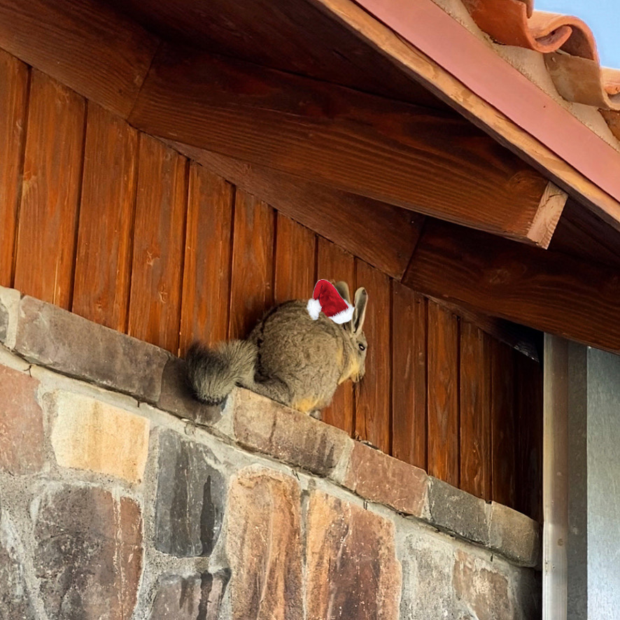 Vizcacha perched under the eaves of a building with a photoshopped Santa Claus hat